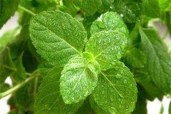 盆栽薄荷的养殖方法详细介绍 这么养的盆栽薄荷长得真好