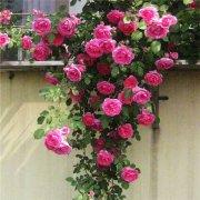 藤本月季可以盆栽吗 盆栽的藤本月季我们可以这样进行养护哦