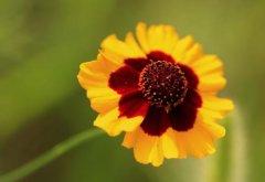 蛇目菊的花期是什么时候 蛇目菊的花期是可以控制的哦