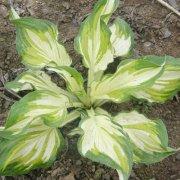 花叶玉簪的养殖方法介绍 这样养护的花叶玉簪会长得更美哦