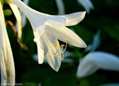 玉簪花的花语是什么?关于玉簪花的传说及代表寓意你了解吗