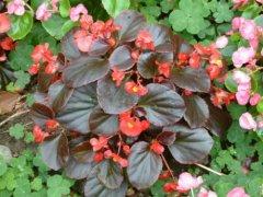 秋海棠花怎么养的更好 秋海棠花的养殖