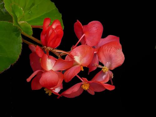 秋海棠花怎么养的更好 秋海棠花的养殖方法看这里