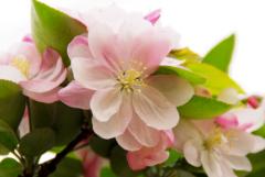 盆栽海棠花夏天怎么养?海棠花夏季养护技巧及注意事项
