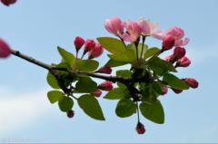 海棠花只长叶不开花怎么回事  这样养护能让海棠快速开花哦~