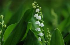 风铃草什么时候开花 这样养护还可以延长花期哦