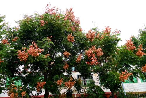栾树的作用与功效是什么 齐发国际网址栾树的价值是什么