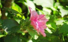 木槿花适合室内养吗 你必须了解的家中养殖木槿花的风水