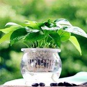 绿萝可以水养吗 这样水培绿萝既简单又能快速生根