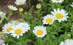 白晶菊花语是什么 白晶菊的这些功效作用你都了解吗