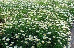 白晶菊好养吗 白晶菊的这些养殖方法攻略你都学会了吗