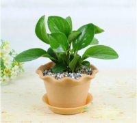 豆瓣绿的功效与作用有哪些 家养豆瓣绿