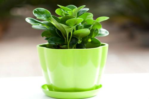 豆瓣绿的功效与作用有哪些 家养豆瓣绿好处可真不少