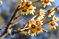 腊梅花如何浇水 腊梅四季养护浇水方法你必须了解