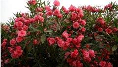 夹竹桃有毒为什么还种 齐发国际网址夹竹桃的养殖价值这么高