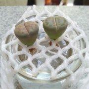 生石花怎么水培 水培生石花的方法和注