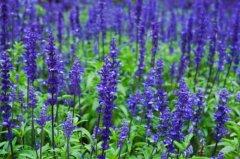 蓝花鼠尾草什么时候开花 齐发国际网址蓝花鼠尾草开花是这样的