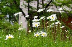 雏菊鲜花怎么水养 要想花期延长我们一定要这样做