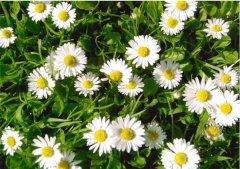 雏菊常见的病虫害有哪些 这些防治方法你都了解了吗