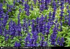 鼠尾草的花语和传说是什么呢