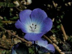 幌菊什么时候开花呢 齐发国际网址幌菊开花的时候长这样