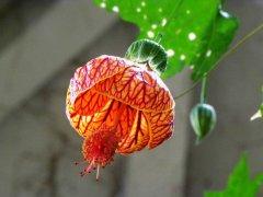 金铃花养殖方法有哪些 金铃花这样养长得更好哦
