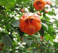 金铃花不开花什么原因  这样养护金铃花越开越旺盛