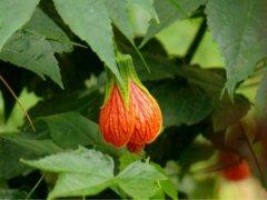 金铃花的花语是什么 金铃花象征了什么寓意