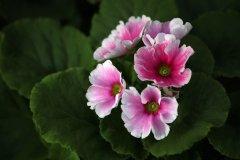 四季樱草的四季管理方法介绍 这么养四季樱草你了解吗