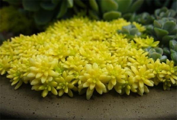 黄金草常见的病虫害有哪些 黄金草病虫害防治方法这里有