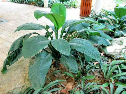 绿巨人植物怎么养殖  绿巨人这样养护长得更好哦