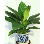 绿巨人植物有什么作用  家养绿巨人好处可真不少