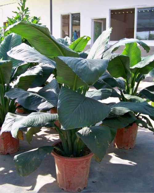 绿巨人会开花吗  绿巨人开花后怎么处理方法介绍