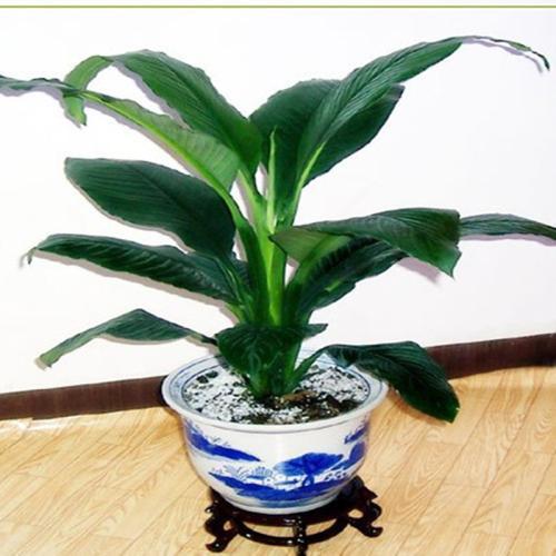 绿巨人植物寓意好吗 绿巨人花的风水作用及禁忌介绍
