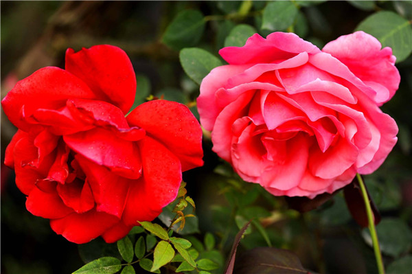 盆栽月季花怎么浇水 这才是月季花最正确的浇水方法