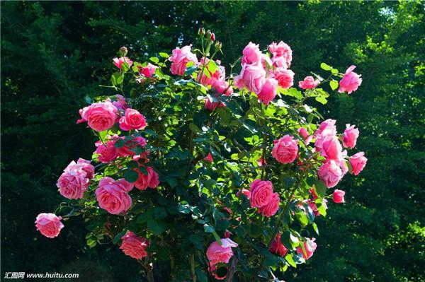 怎样才能让月季多开花 这样养护才能让月季花开不断