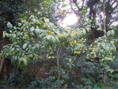 金花茶怎么种植? 金花茶的养殖方法及