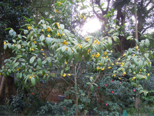 金花茶怎么种植? 金花茶的养殖方法及注意事项看这里