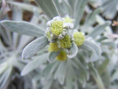 芙蓉菊夏天可以暴晒吗 夏季养殖芙蓉菊需要注意这些方面