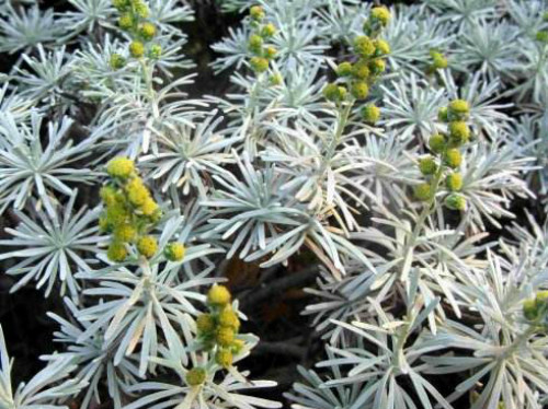 芙蓉菊怎么养 芙蓉菊的养殖方法及注意事项有这些