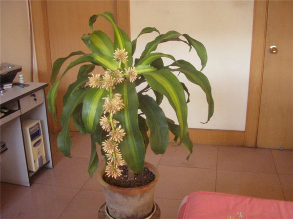 巴西木如何养殖 这样养殖的巴西木更容易爆盆哦