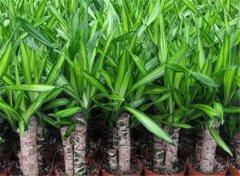 巴西木好养吗 巴西木的养殖方法和注意