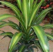 巴西木可以水培吗 巴西木的水培方法及