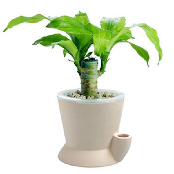 巴西木可以水培吗 巴西木的水培方法及养护方法看这里