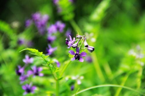 还亮草的花语是什么 还亮草的传说你听过吗