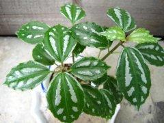 冷水花可以水培养殖吗  水培冷水花方法及注意事项看这里