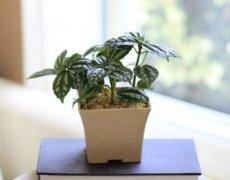 冷水花怎么养最好?冷水花的养殖方法及注意事项介绍
