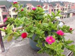 牡丹吊兰怎么养开花多 这样养护才会花