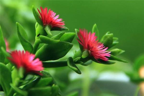 牡丹吊兰能放在卧室养吗 这样养护才能生长的更旺盛哦