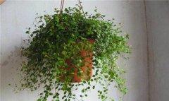 千叶吊兰怎么施肥 这样给千叶吊兰施肥爆盆更简单呢